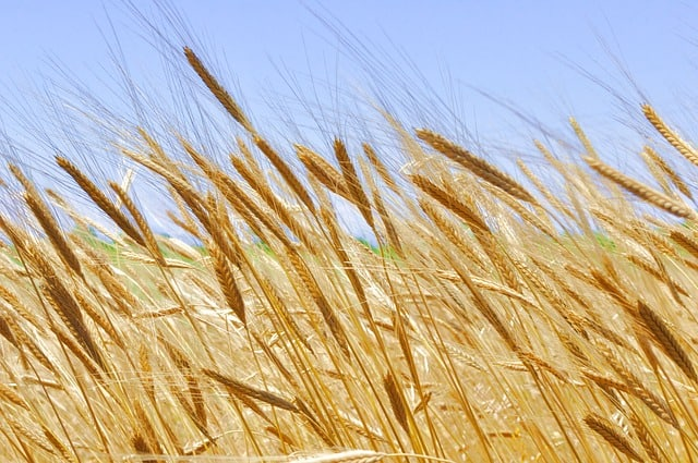 einkorn, oldest cultivated cereal