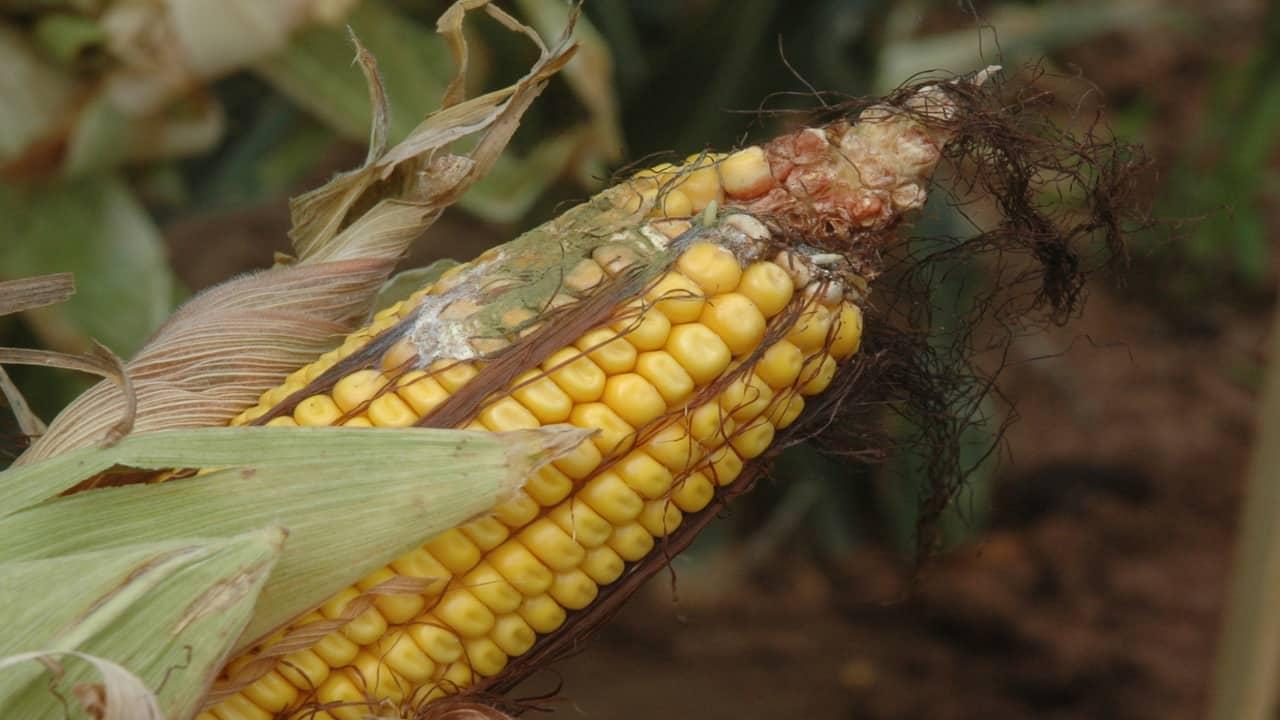 Aspergillus corn ear rot