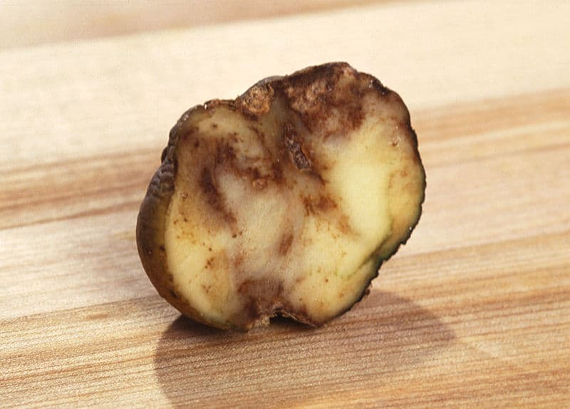blight in potatoes