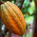 Oversupply of cocoa may affect the price of chocolate