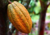 cocoa crisis