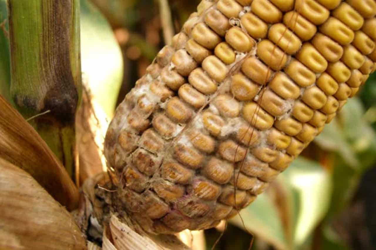 Diplodia ear corn rot