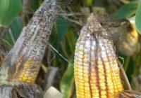 fusarium corn earn rot