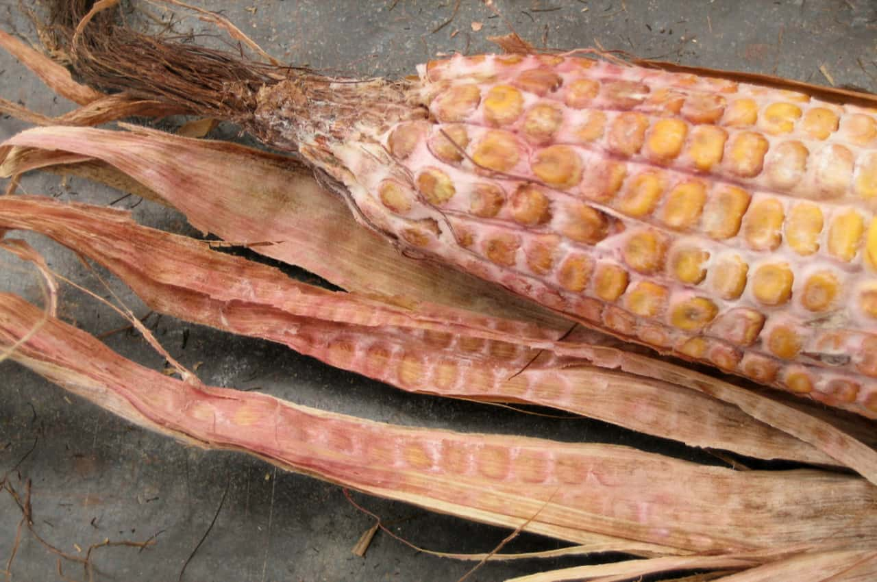 Gibberella corn ear rot