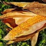 Dangerous corn ear rots: Aspergillus