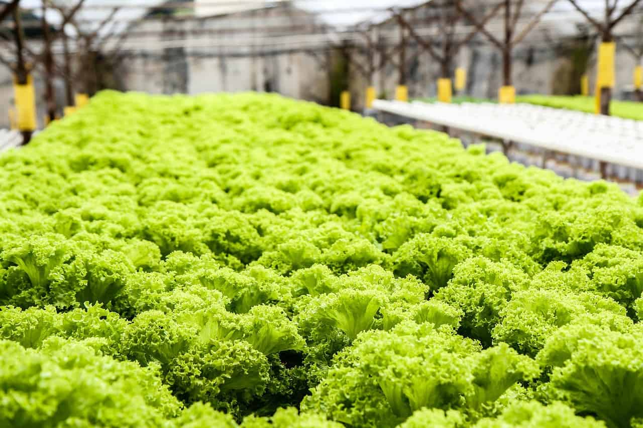 hydroponic warehouse - lettuce culture