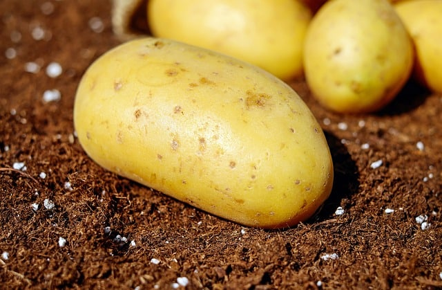 New GMO potatoes