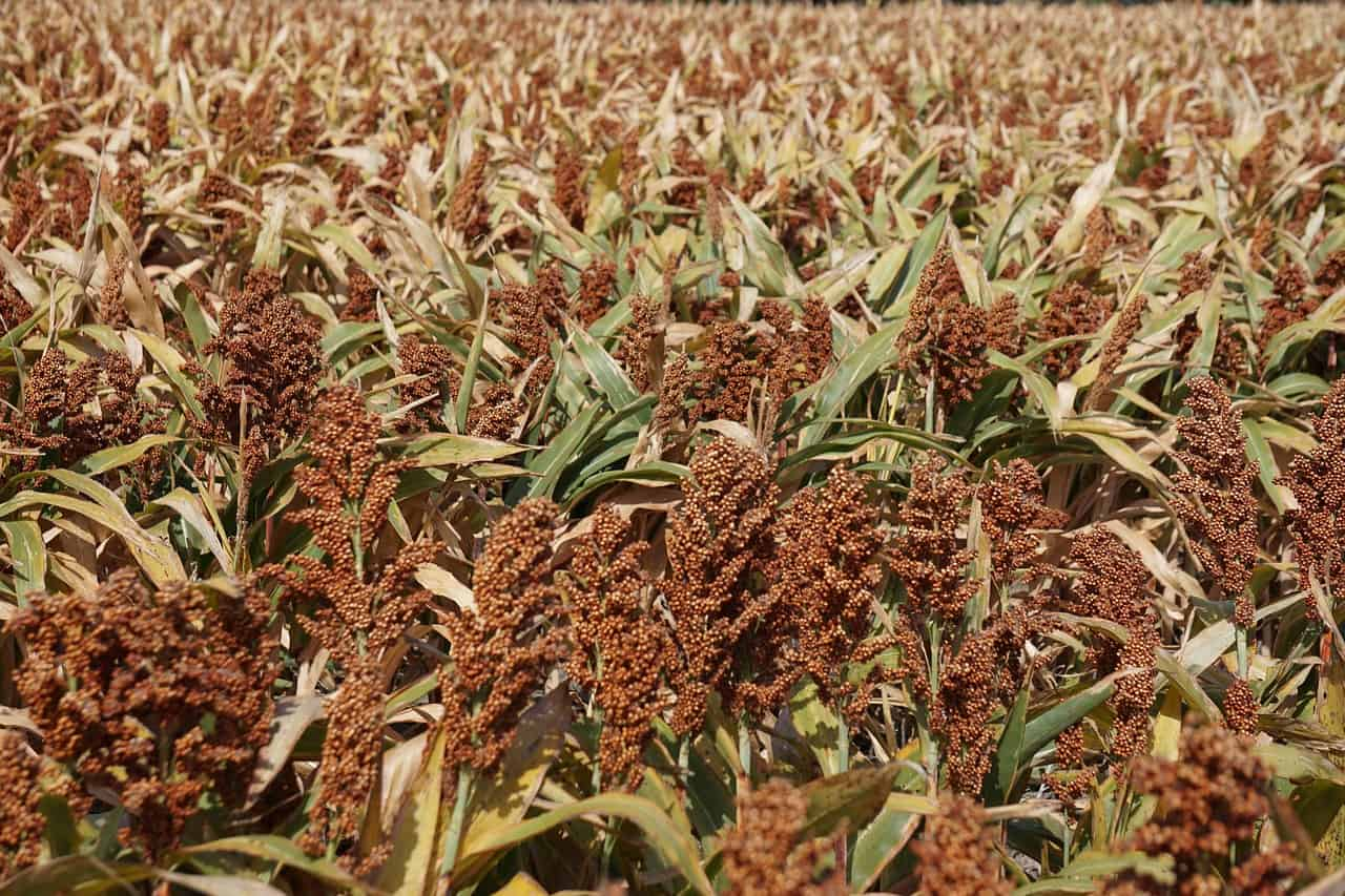 European program for sorghum