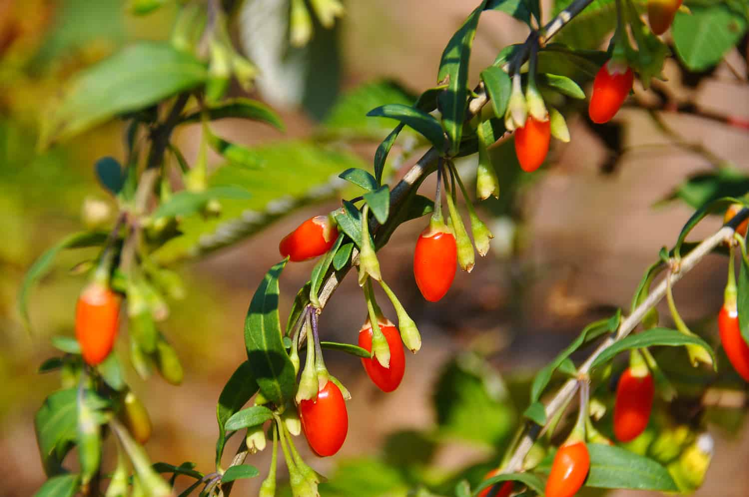 Lycium barbarum (Goji berries)