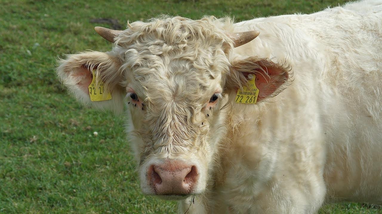 Charolais cow