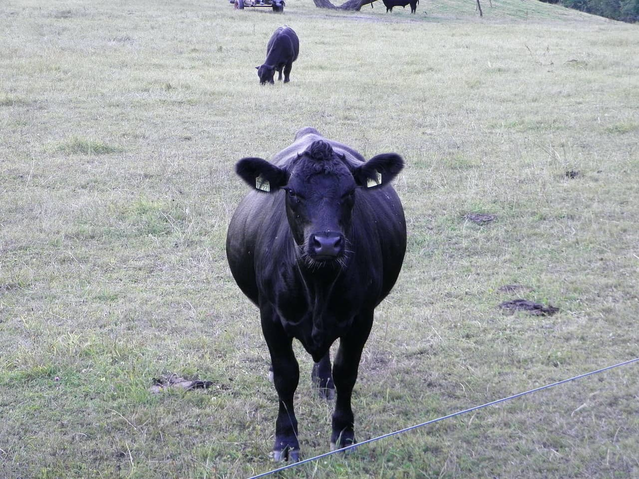 German Angus cow