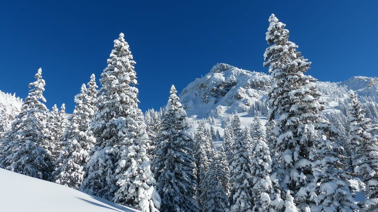popular Christmas trees