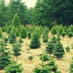 The impact of Christmas trees on the environment
