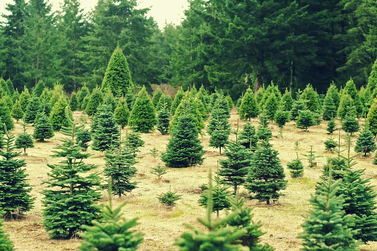The Impact Of Natural Christmas Trees On The Environment