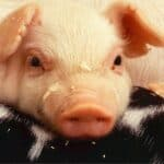 Disease prevention in pig farms