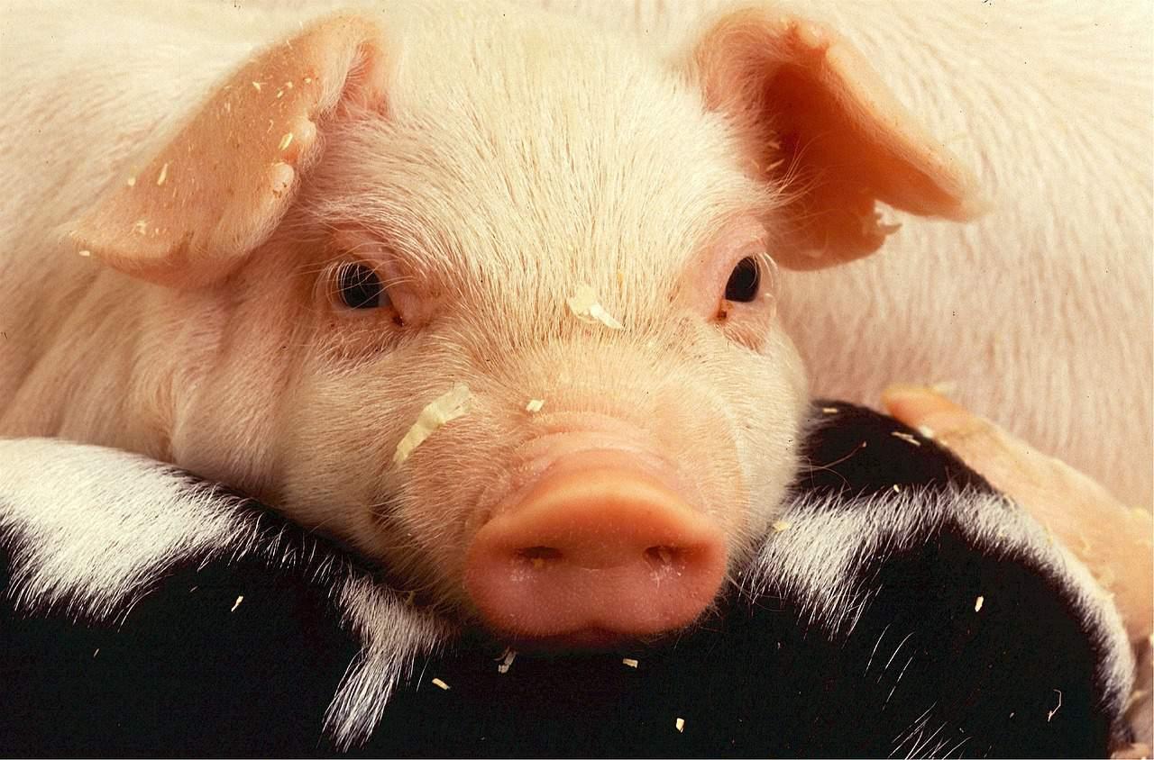 pig farms