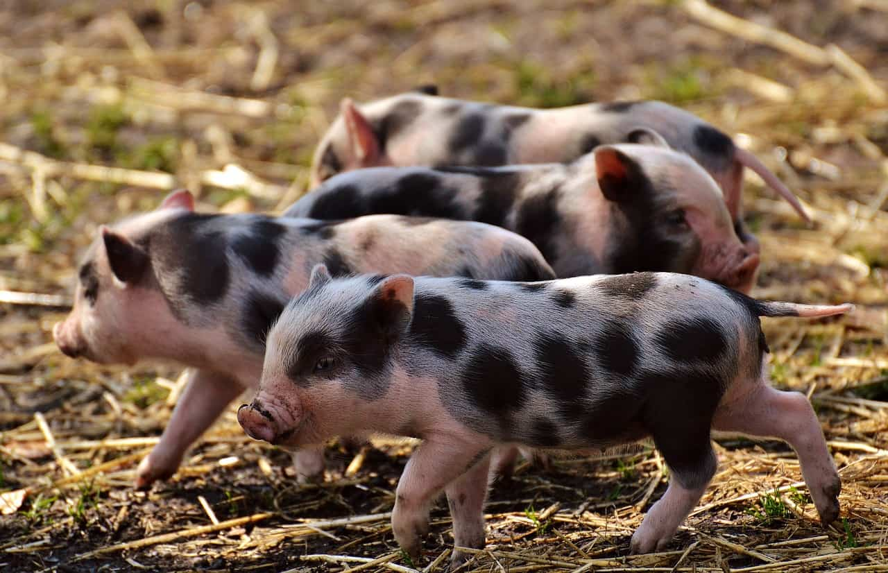 piglet disease prevention