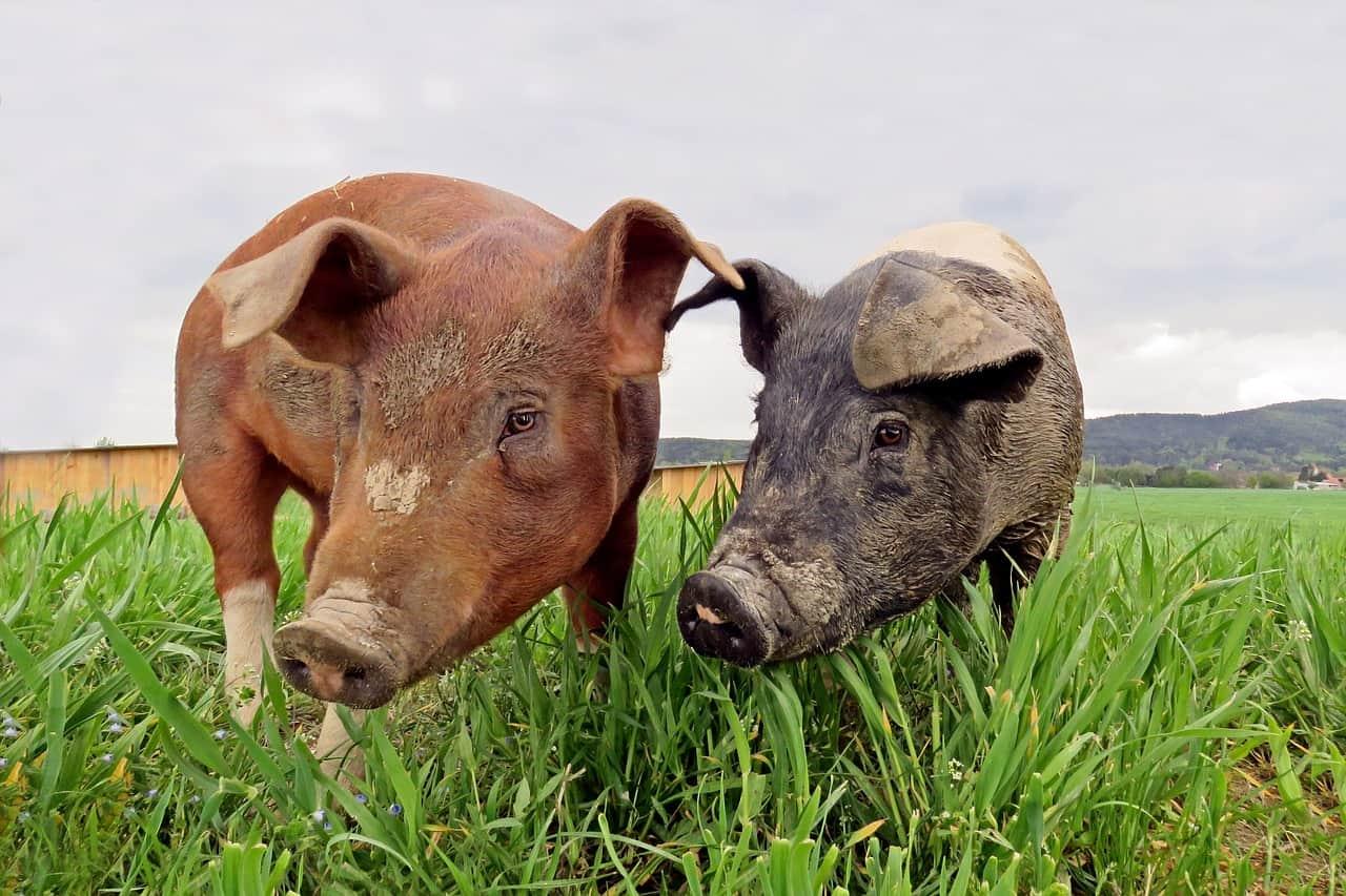 swine diseases prevention