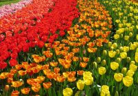 top 11 tulips fields in the Netherlands