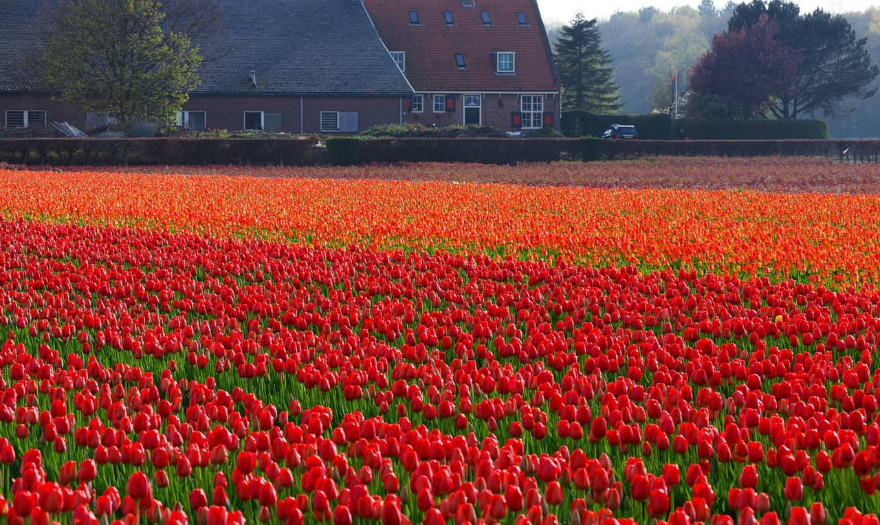 tulips fields Netherlands