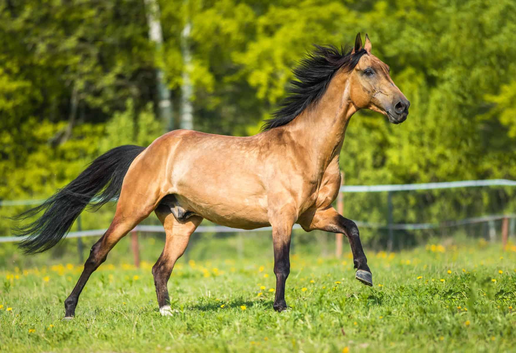 Akhal-Teke horse galloping