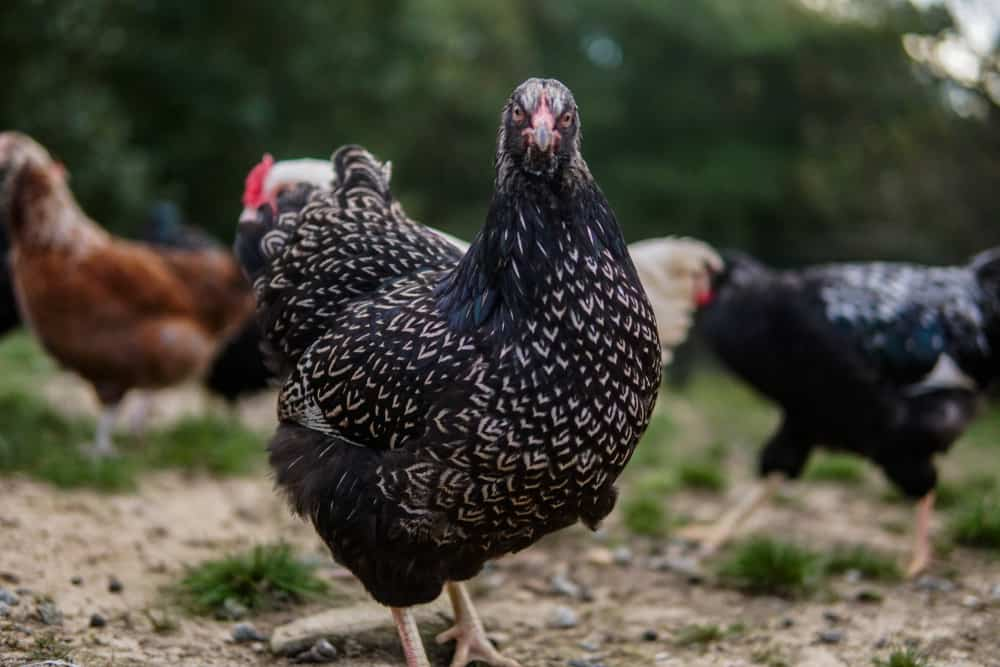 Barnevelder chicken breed