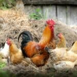 Top 13 best egg laying chicken breeds