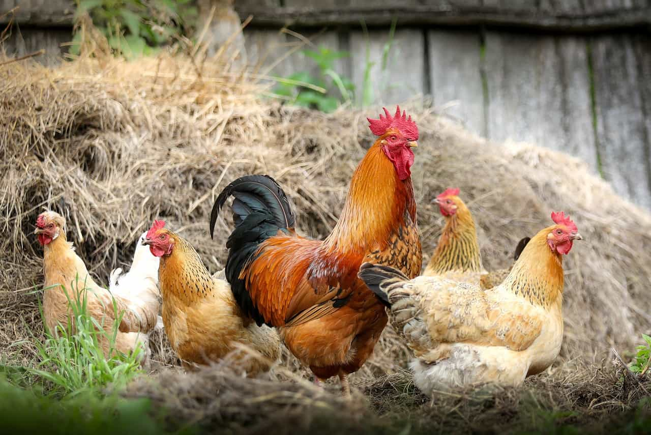 Top 13 best and most productive egg laying chicken breeds