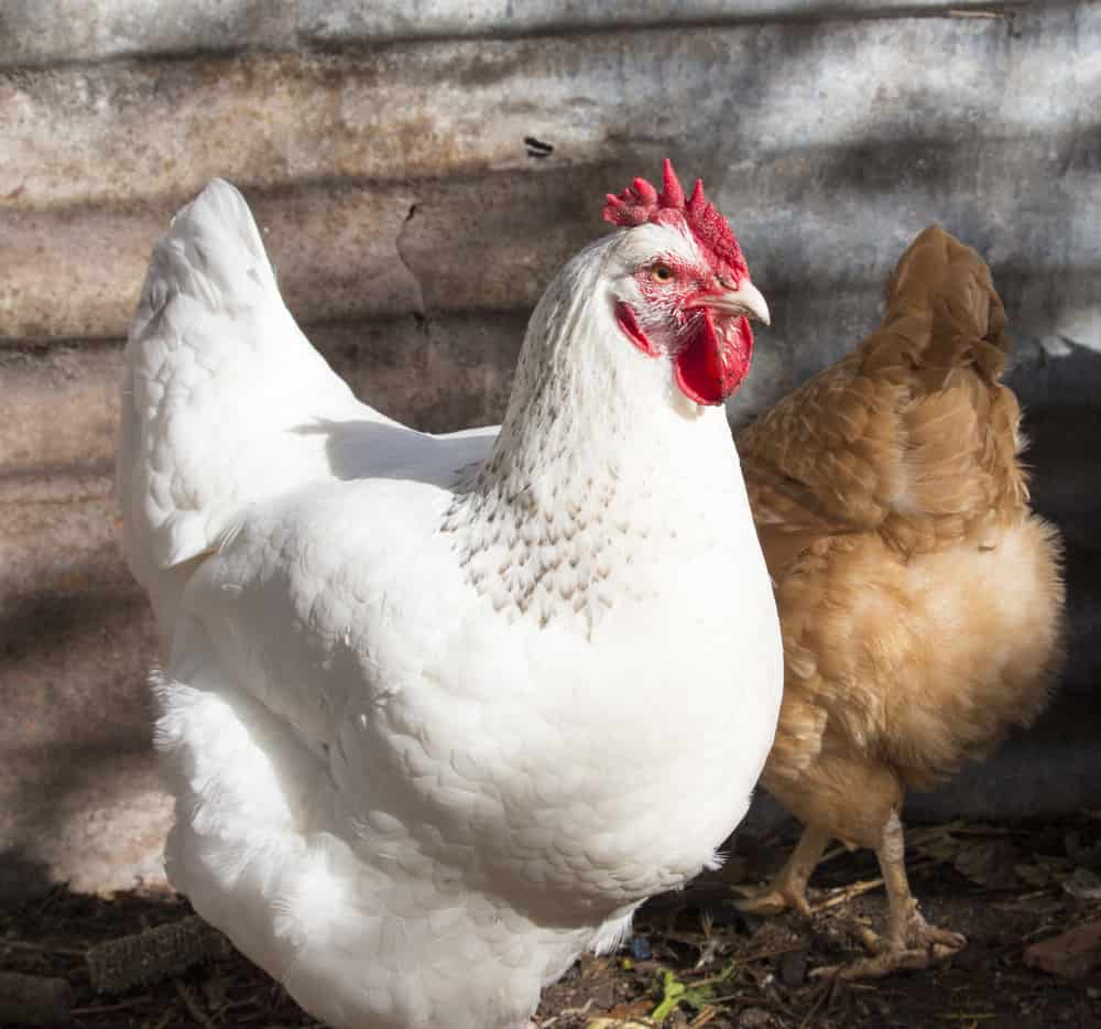 white leghorn chicken breed