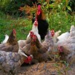 Organic chicken feed – a short guide on the nutrition of organic chickens