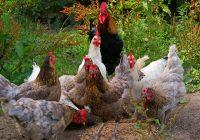 organic chicken feed guide