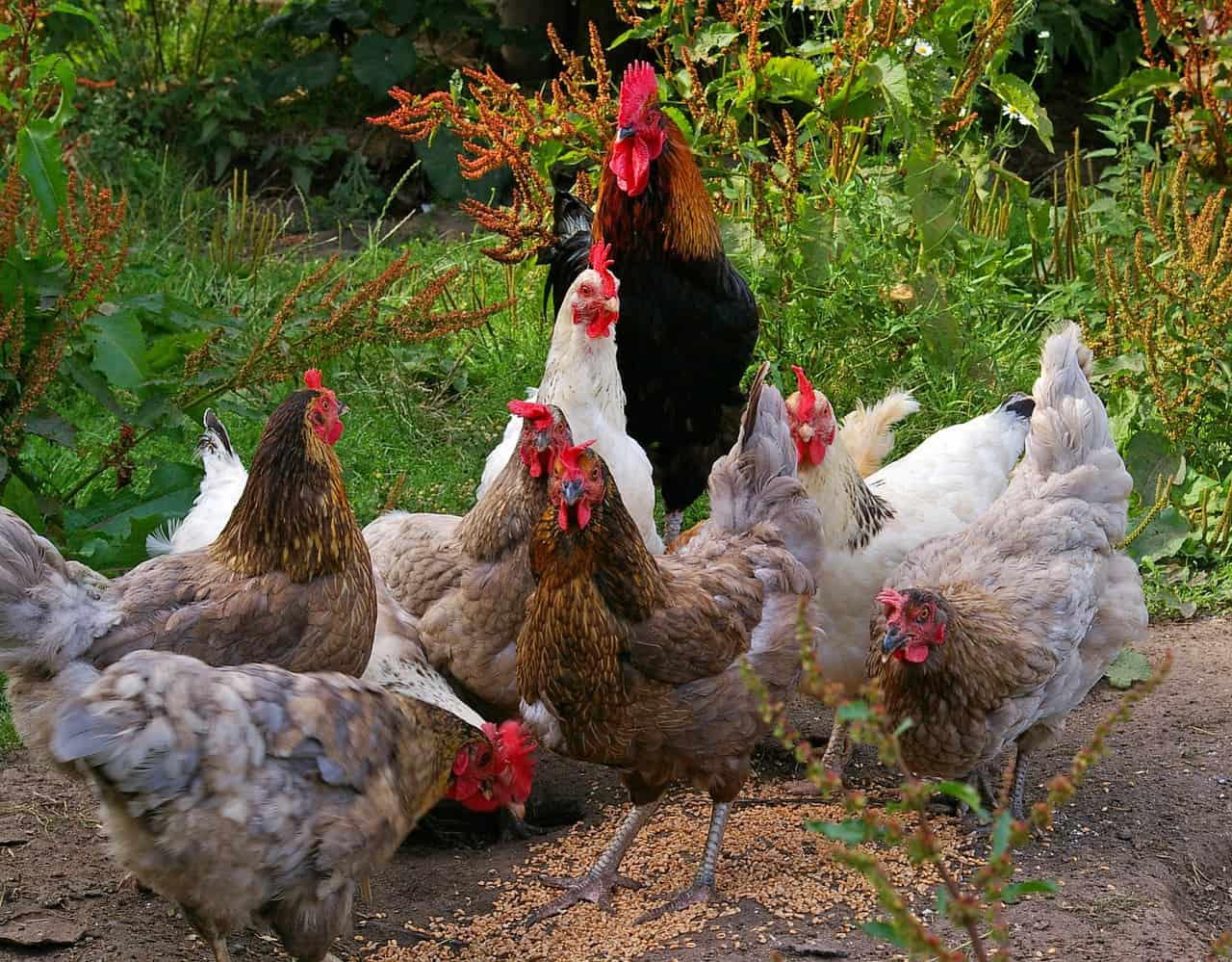 organic chicken feed guide