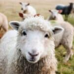 Nutritional requirements of sheep