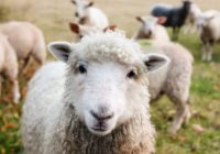 Sheep - nutrition guide & nutritional requirements