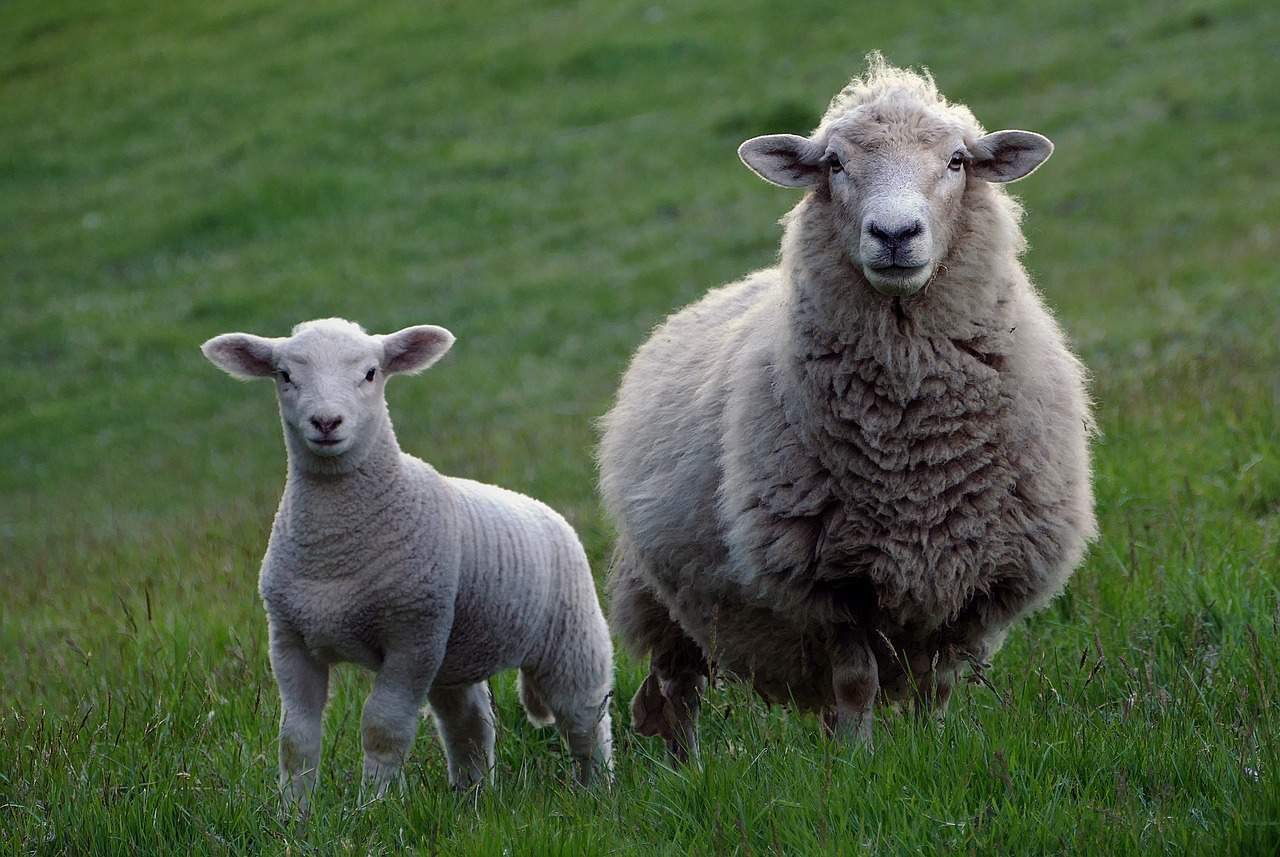 Sheep & lamb - optimal nutrition