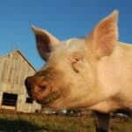 Most common pig diseases