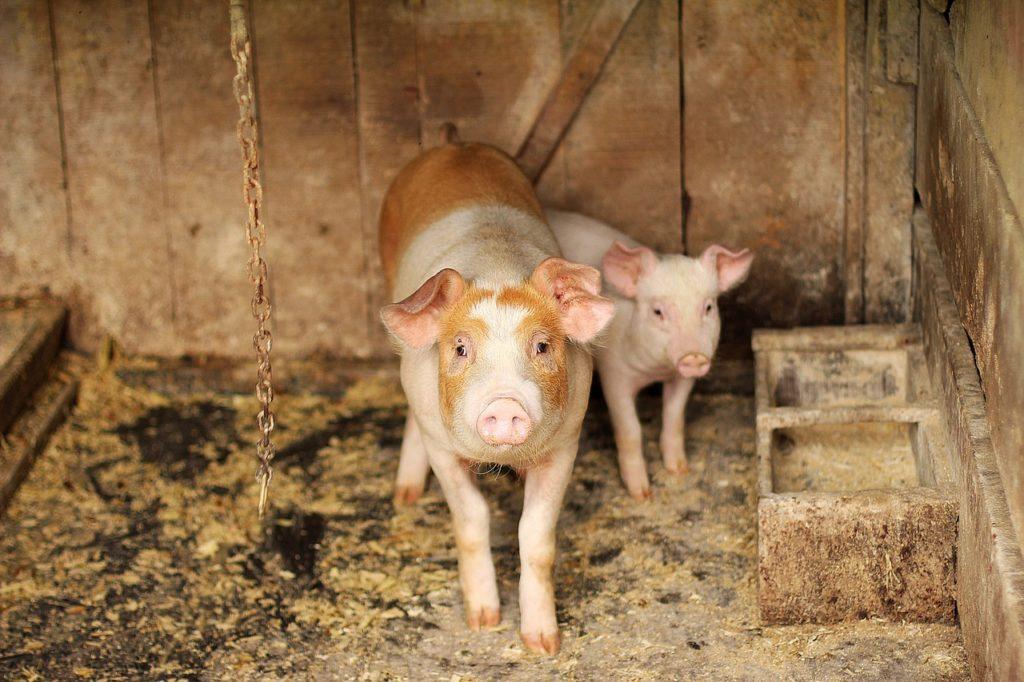 pig farm housing