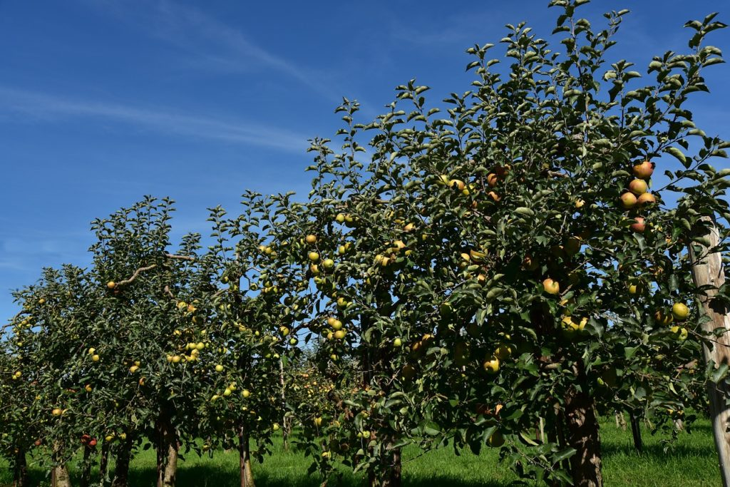 several apple trees
