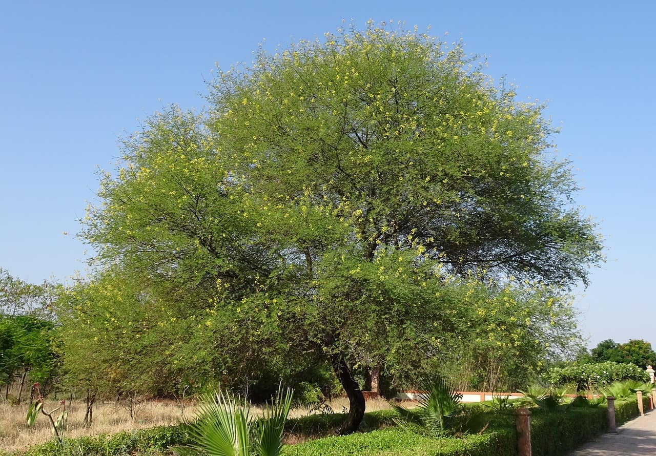 gum arabic tree