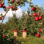 How to prune an apple tree correctly (a beginner's guide)