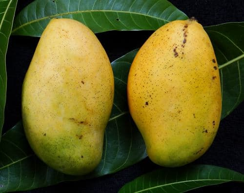 Francis mango